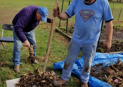 Destroying the trial garden tubers. Nick and John ensured they were all cut up before being added to the compost pile.