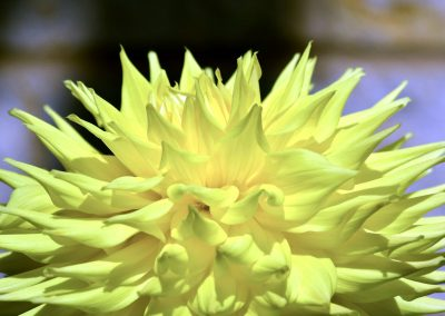 Ruffled Spikes of Yellow
