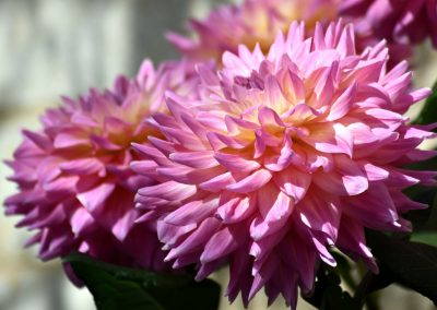 Shadows and Light on Pink Dahlia