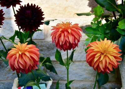 Three Bloomquist Pumpkin Dahlias Presenting Their Colors