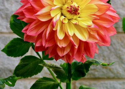 Wandas Aurora Bloom in Yellow and Peachy-Pink