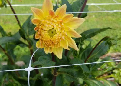 NCDS Member Bloom
